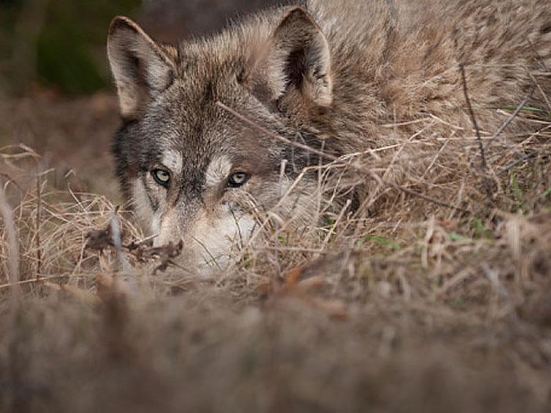 lupo in agguato